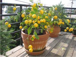 árvores-em-vasos-frutíferas-laranja-roulets-faça-você-mesmo-diy